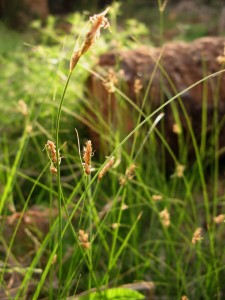 Carex_divisa