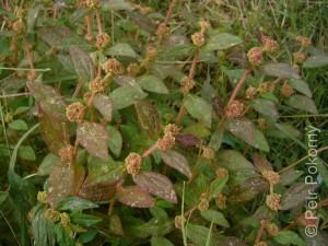 Euphorbia_hirta