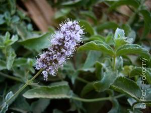 Mentha_longifolia