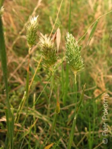 Phalaris_minor