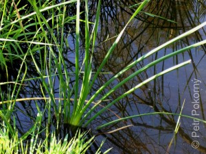 Typha_domingensis1